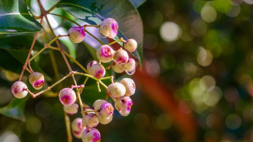 Close cropped photograph of pink Lilli Pilli fruit berries.