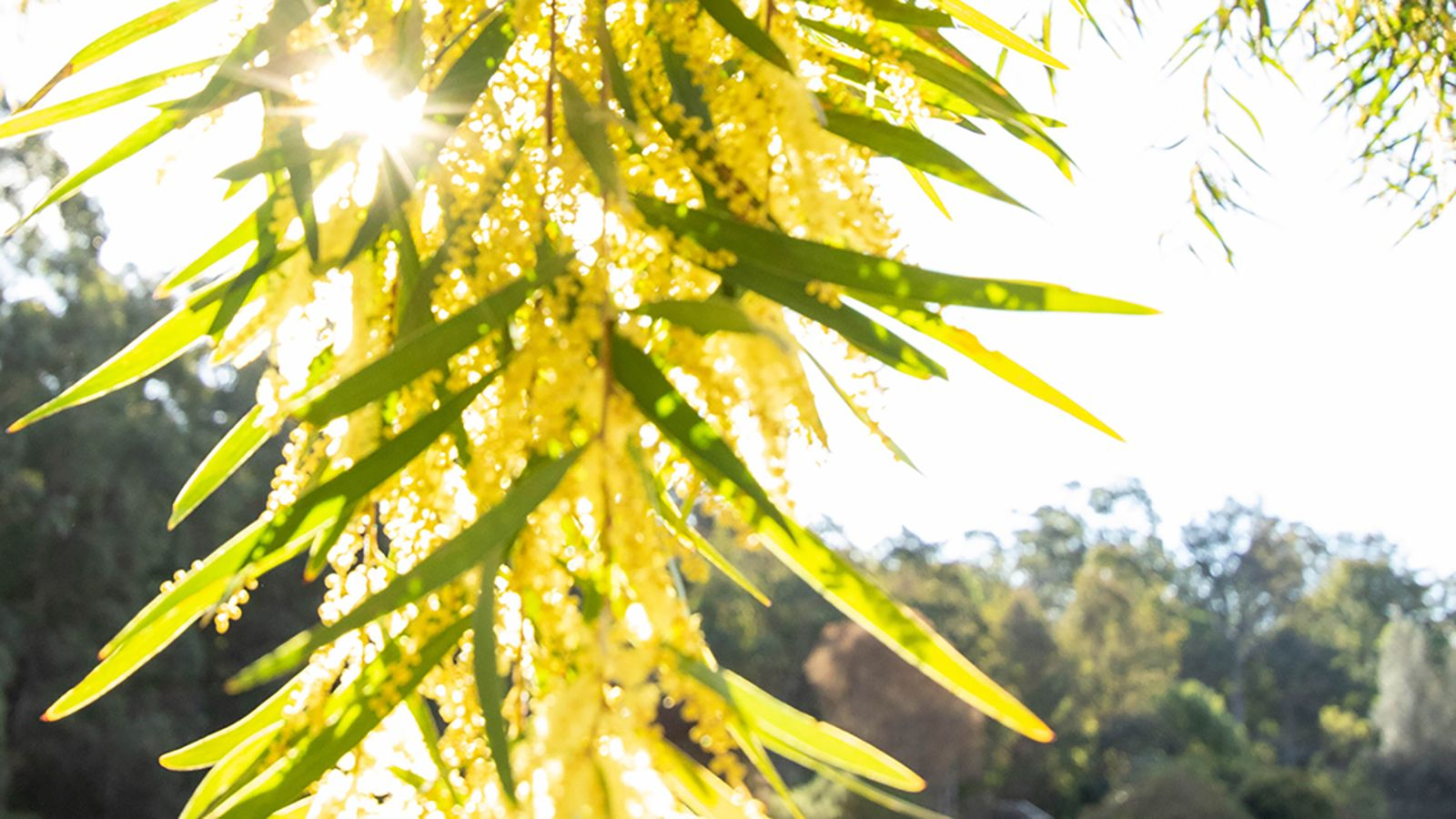Wattle leaves and pollen banner image