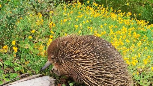 An echidna in front of a grouping of Chrysocephalum-apiculatum