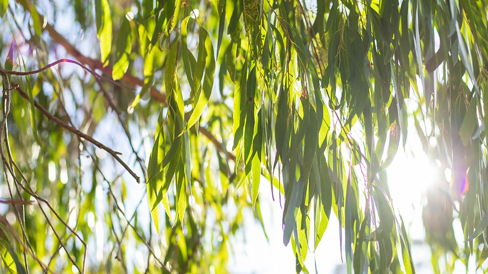 Sunlight shining through green tree leaves. banner image